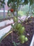 tomat0907-3.jpg