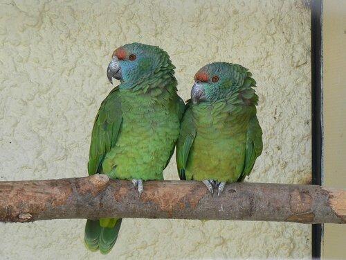 Виды попугаев с фото и информация о них - Попугаи