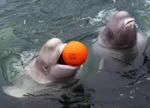 Владивостокские дельфины–белухи прописались в Находке