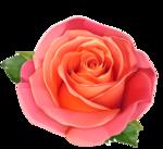 роза55.png