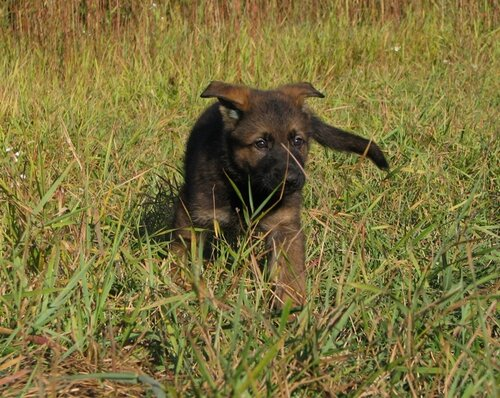 Родились щенки от Charly v. Rio Negro и Lola iz Peschanki 0_eaa55_1d856eb2_L
