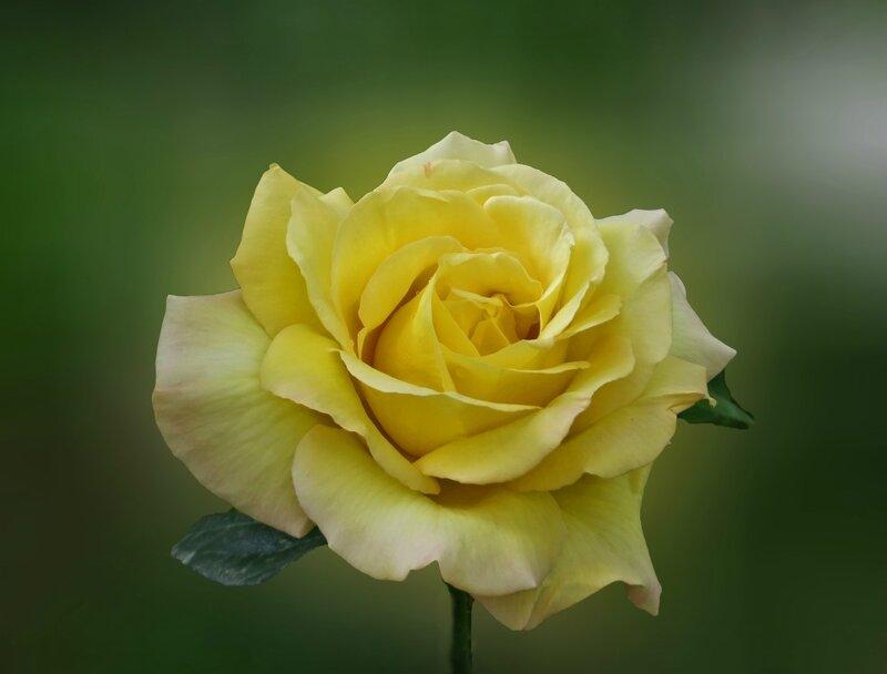 Дарите желтые цветы!