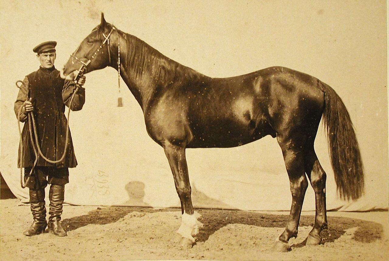 29. Жеребец конного завода Суручана и Бузни, экспонирующийся на выставке