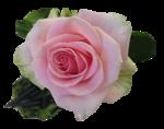 rose-C.S.png
