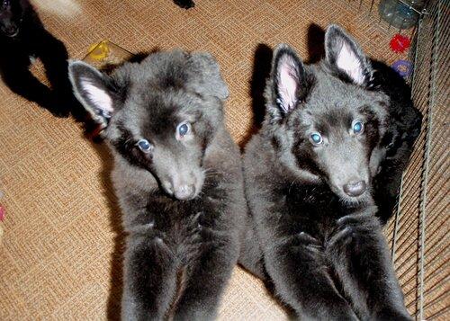 Фото щенков грюнендаль от 45 до 60 дней