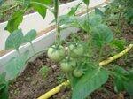 Первые помидоры