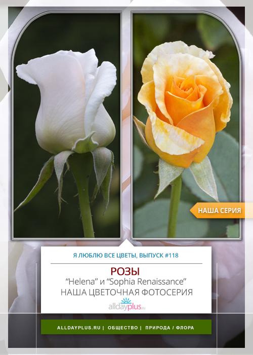 Я люблю все цветы, выпуск 118 | Роза - «Королева цветов» | «Helena» и «Sophia Renaissance».