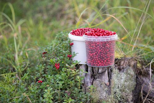 Брусника обыкновенная (Vaccinium vitis-idaea) Автор фото: Владимир Брюхов