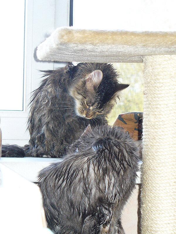 Дуся и Тинки после купания - две мокрые курицы
