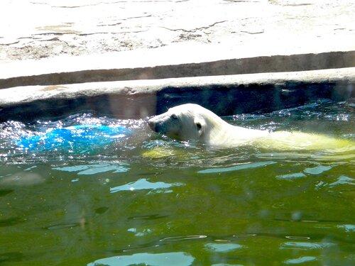 Медведик белый