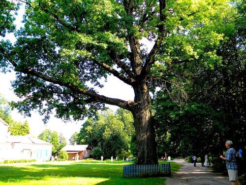 300-летний дуб*