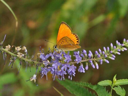 На Веронике длиннолистной (Veronica longifolia) Автор фото: Владимир Брюхов