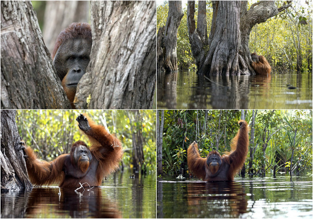 Rare shots: orangutan in the river