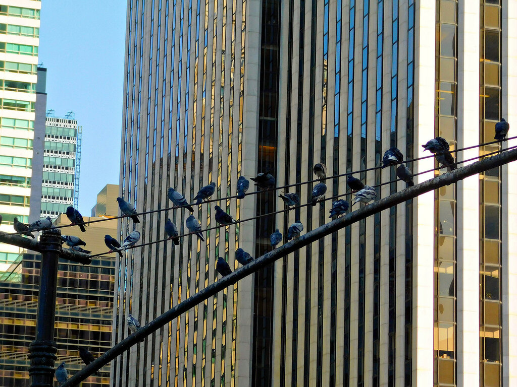 Голуби на Манхэттене