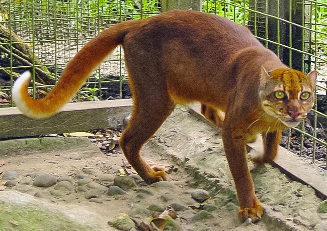 © wikipedia     Калимантанская кошка, получившая свое имя поназванию своего «места пропи