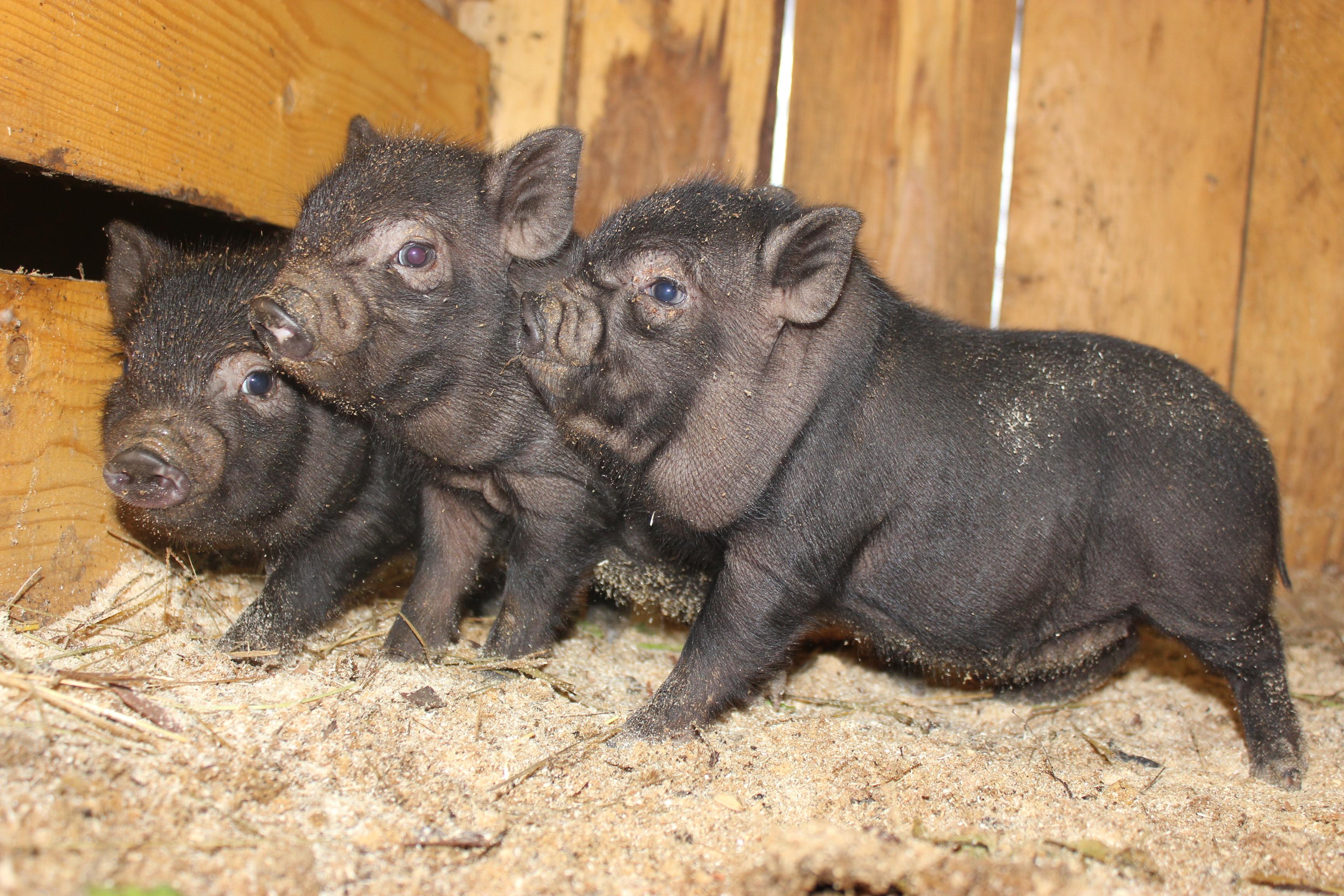 Свиньи необычной породы (2 фото)