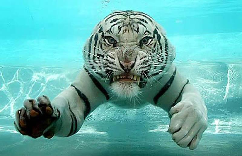3. Тигр   Самый крупный хищник из семейства кошачьих. Размер до 2,8 метра в длину, вес — 400 ки