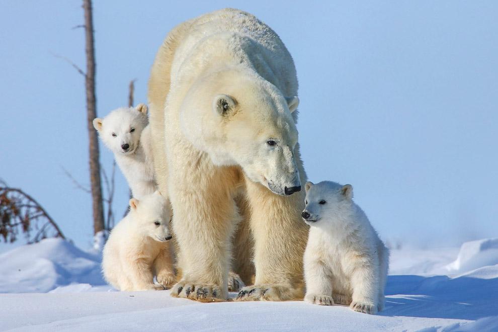 10. В зимнюю спячку, продолжительностью 50—80 дней, залегают, в основном, беременные самки. Самцы и