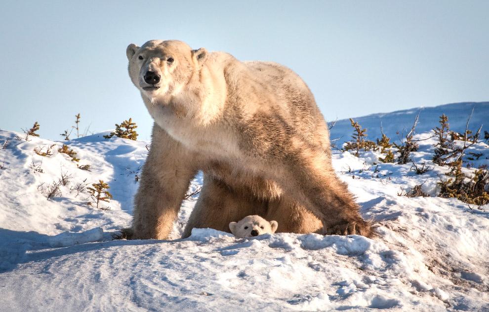 13. Продолжительность жизни белых медведей — максимум 25—30 лет; в неволе рекорд долгожительства — 4