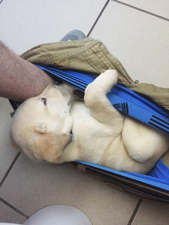 «Пора покупать штаны побольше»: щенок лабрадора не может оставить хозяина даже в туалете (17 фото)