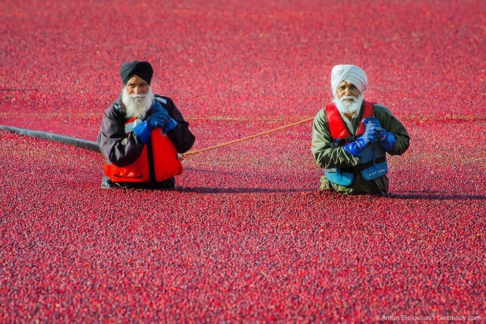 Чтобы согнанные к берегу ягоды не расплывались, их тоже заграждают боном.