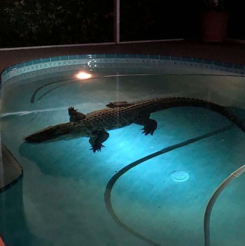3-метровый аллигатор в бассейне частного дома