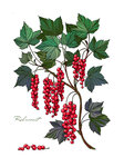 Red currant branch. Red forest berry