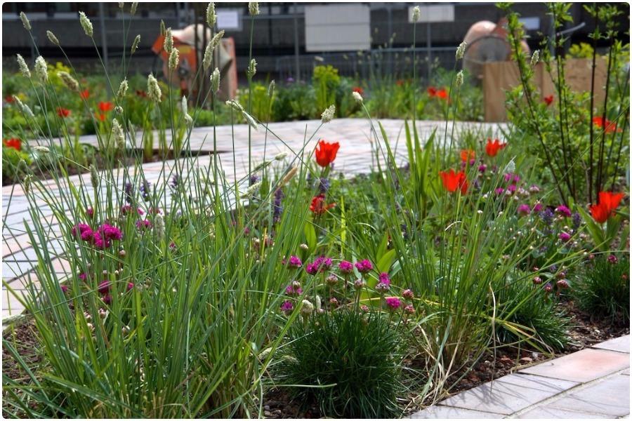 Посадка тюльпанов и других луковичных в газон