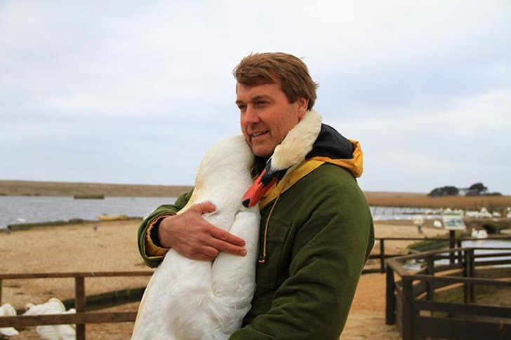 Этот прекрасный лебедь обнял человека в благодарность за спасение (5 фото)