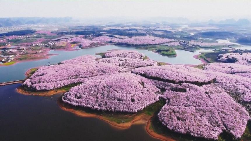 вишня деревья Китай цветение цветы