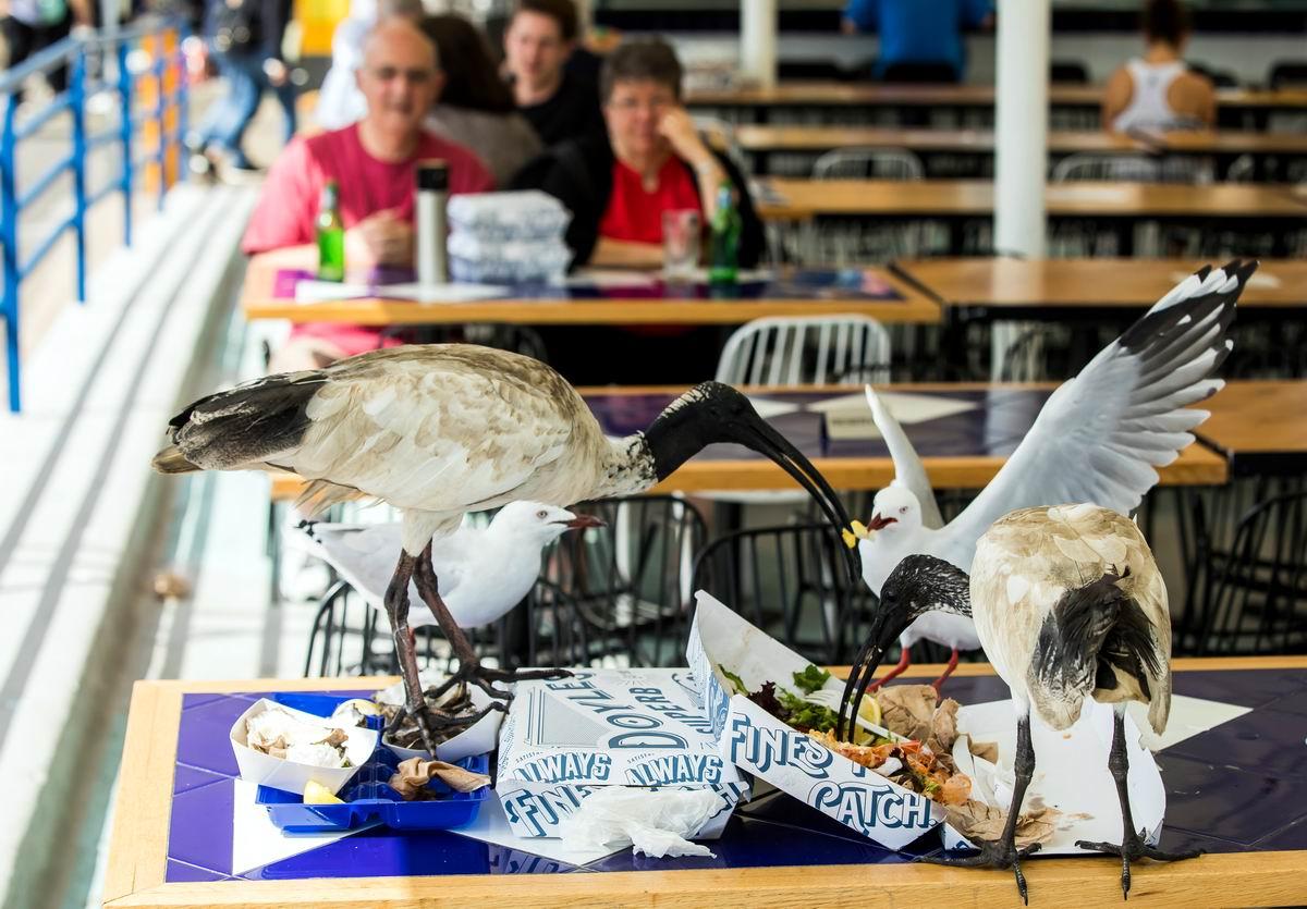 Гуляй, рванина!: Ибисы и чайки за столиком австралийского кафе