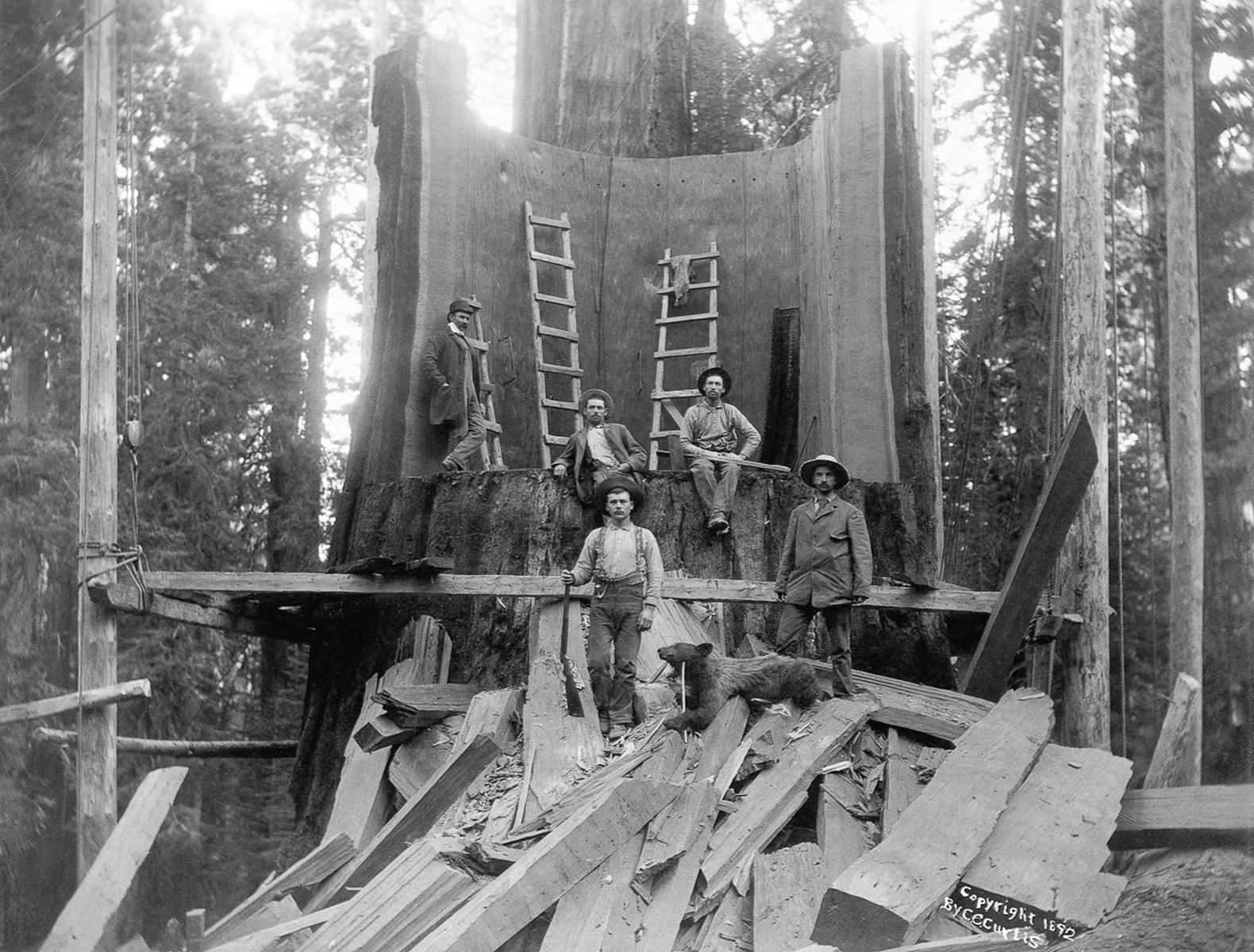1892. Калифорния, США. Лесорубы, стоящие возле спиленного дерева в округе Тулар, штат Калифорния. Дерево было зарегистрировано на Всемирной Колумбийской выставке в Чикаго