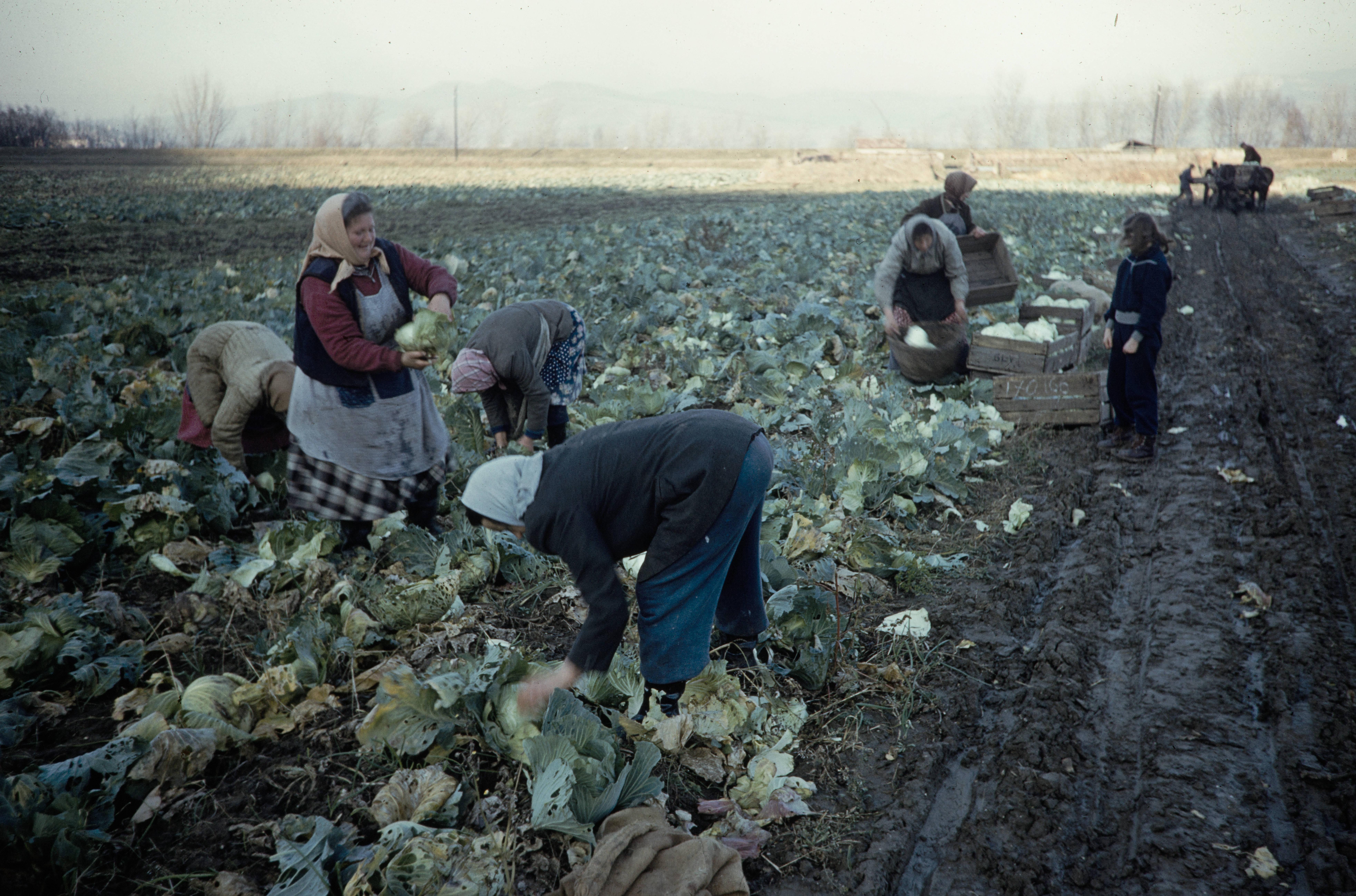 Колхозники собирают капусту