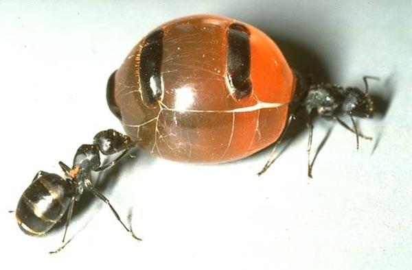 Медовые муравьи - Хочу все знать