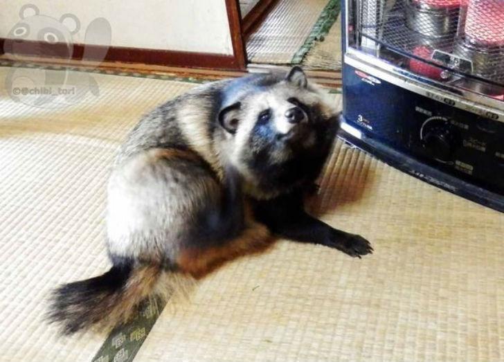 Вы обязательно влюбитесь в енотовидную собаку Тану