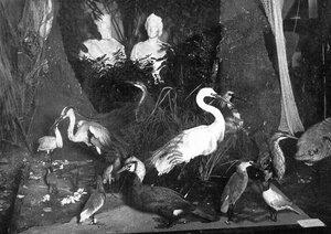 Чучела водоплавающих птиц - экспонаты выставки.