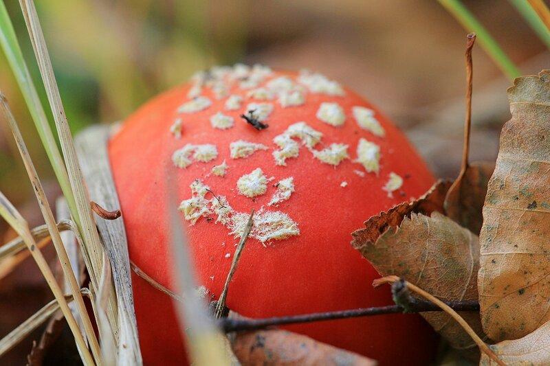 шляпка мухомора красного (Amanita muscaria)