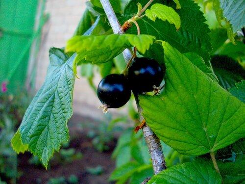 Чем полезны листья черной смородины