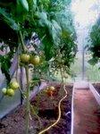 tomat0907.jpg