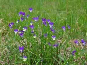Фиалка трёхцветная (Viola tricolor)