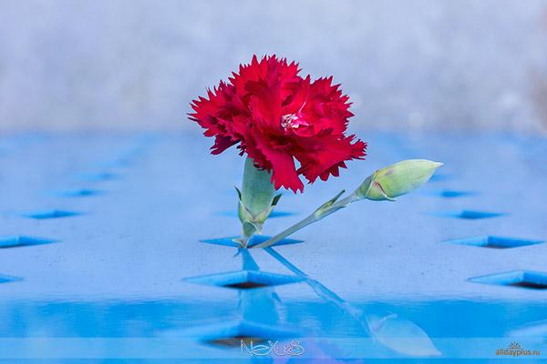 Я люблю все цветы, выпуск 119 | Гвоздика - «божественный цветок».