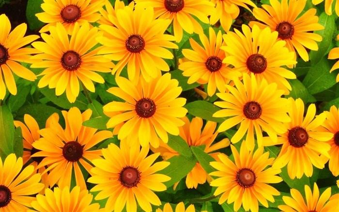Желтые цветы хризантемы