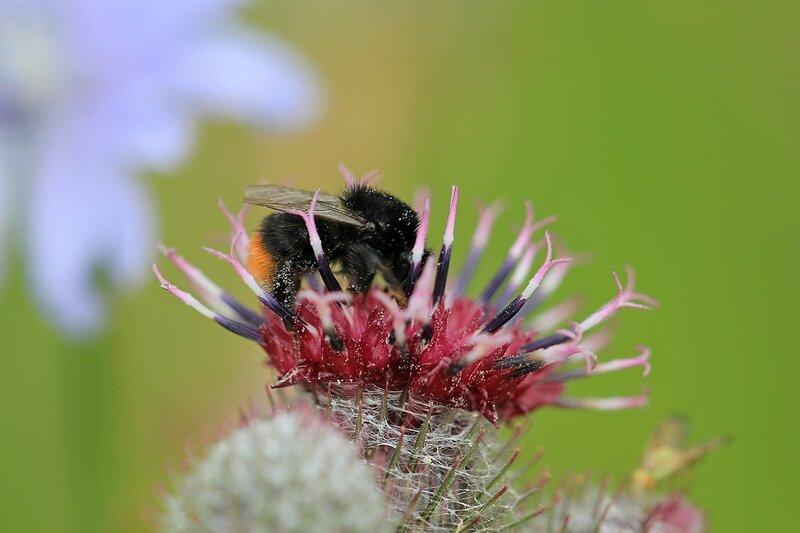 Шмель собирает нектар с красного цветка лопуха паутинистого (войлочного, репейник паутинистый, Arctium tomentosum)