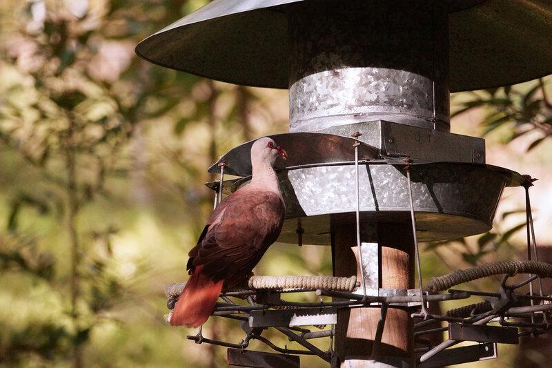 Розовый маврикийский голубь