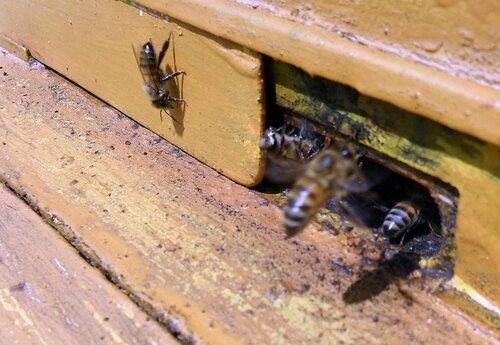 Пчёлы 03