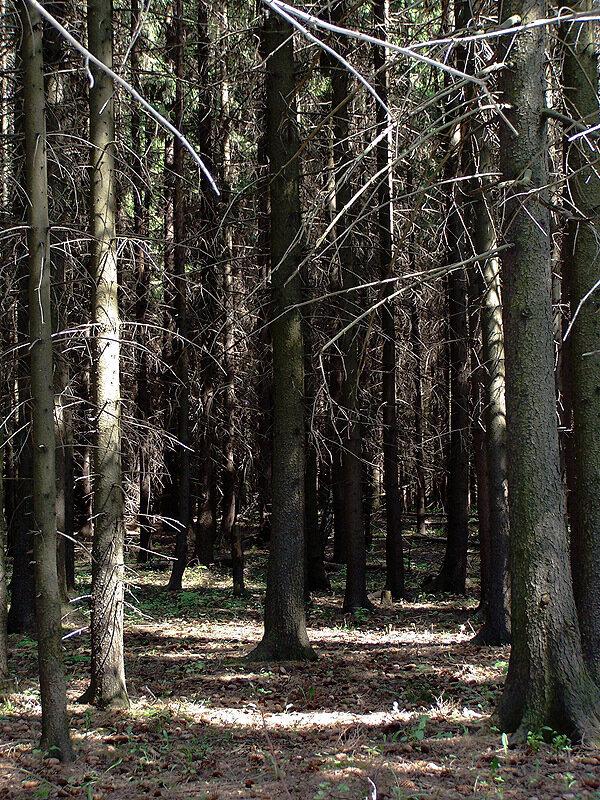 В тёмно-сером лесу...