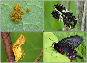Картинки по запросу жизненный цикл бабочки