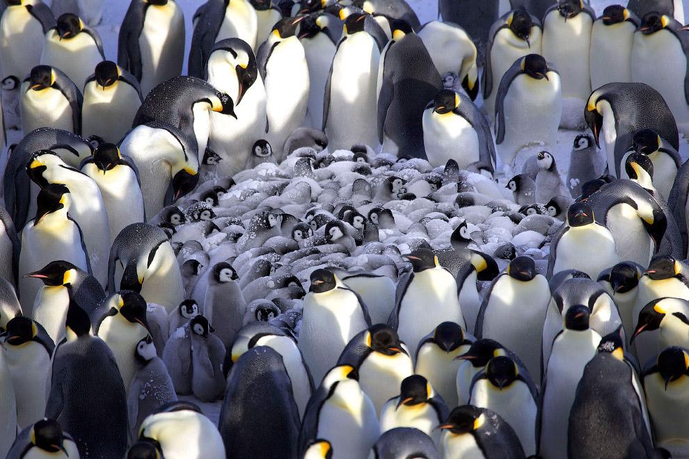 3. Охотясь, императорские пингвины преодолевают большие расстояния, двигаясь со скоростью 3—6