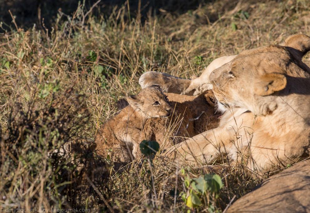 4. Малыши — лёгкая добыча для других хищников. У гиен отличное обоняние, и они чувствуют, если у одн