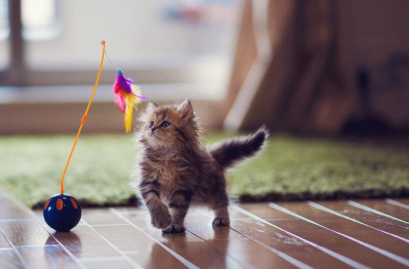 как выбрать котенка: поиграйте с ним
